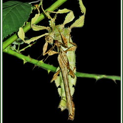 Paartje Heteropteryx dilatata (Woudnimf)
