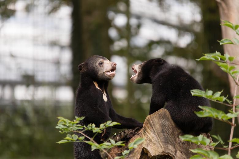 Zo schattig - In 2019 zijn er maar liefst 3 jonge Maleise beertjes geboren bij 2 moeders in Burgers&#039; Zoo. Super schattig vind ik ze. <br /> Dit