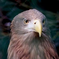 Zeearend (White tailed eagle)