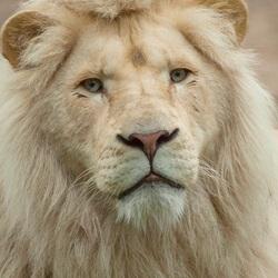 Afrikaanse witte leeuw.
