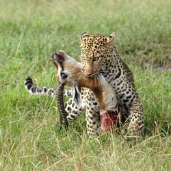 Luipaard met prooi