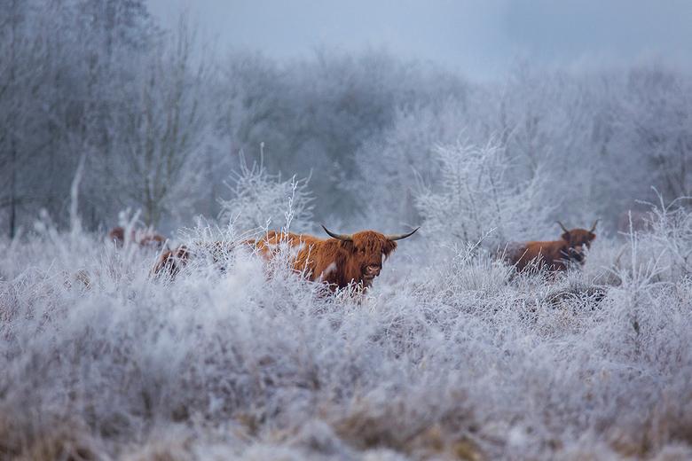 Schotse hooglanders in een winterse wereld - Schilderachtige taferelen tijdens de vorst op 18 januari in Flevoland. De Schotse Hooglanders staken prac