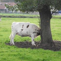 Koe zonder kop