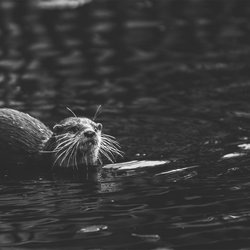 Asian Small-clawed Otter - Aonyx Cinerea