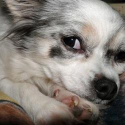 Mijn Chihuahua Lisa ligt op de bank en kijkt guitig naar me. 10-10-2017.