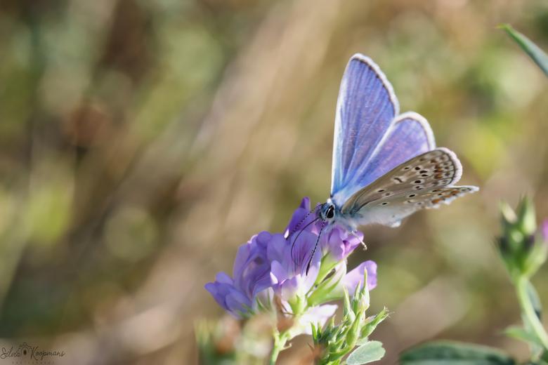 Icarusblauwtje - De icarusblauwtjes zijn weer goed aanwezig bij de Westerschelde. Ik vind het altijd genieten om deze te zien