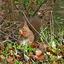 Eekhoorn 16-1-20 Westerwolde