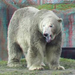 Polarbear Blijdorp Zoo Rotterdam 3D