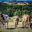 Franse koeien