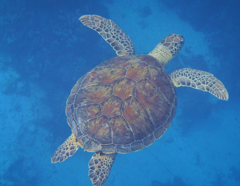 Zeeschildpad - Zeeschildpad genomen tijdens het snorkelen voor Klein Bonaire