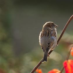 veel voorkomende vogel