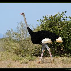 Somalische struisvogel