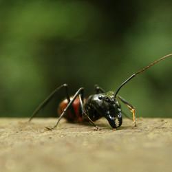 Mier (Borneo)