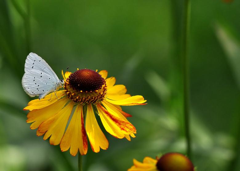"""Een Kleurig,... - Blauwtje,..in een zacht dof..was genieten zondag<br /> in de tuin,..Iedereen Bedankt voor de reacties,..<img  src=""""/images/smileys/"""