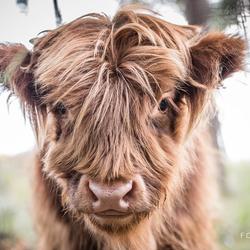 Portret Schotse Hooglander