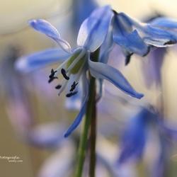 Oosterse sterhyacint: scilla siberica