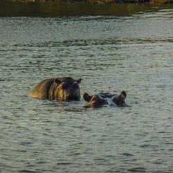 Baby hippopotamus standing on his mother's back