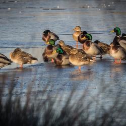 Wild Ducks On Thin Ice