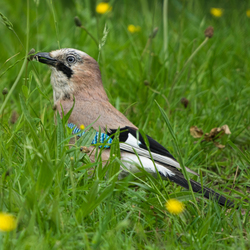 The Eurasian jay