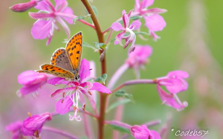 Kleine Vuurvlinder - De kleine vuurvlinder (22 - 27 mm), een vrij kleine vlinder zoals de naam al aangeeft, vliegt hier in drie generaties. Vliegend i