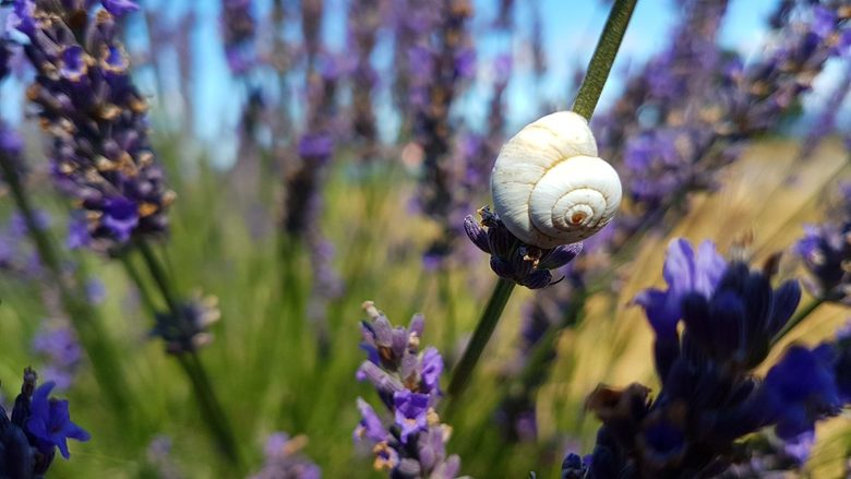 Provence 2017 - In de lavendel