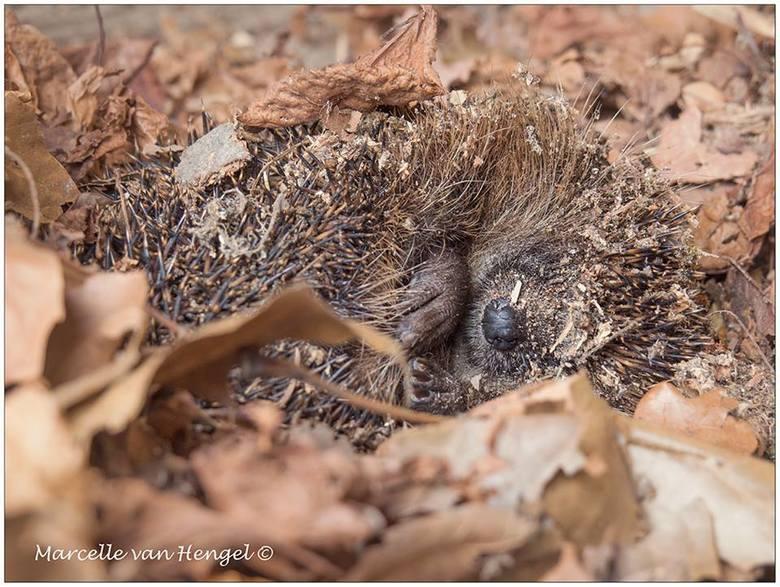 winterslaap - Diep verscholen onder ons houthok, vonden we dit kleine logeétje in een diepe slaap.