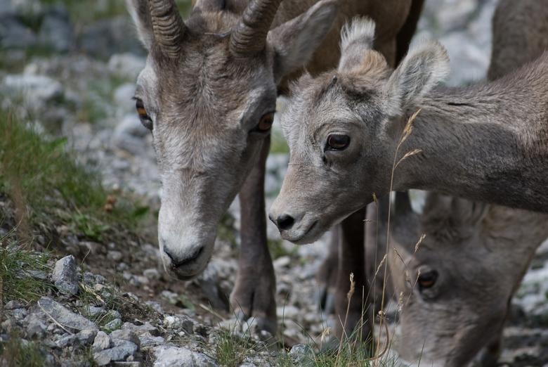 Bighorn Sheep -