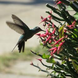 Kolibrie midden in de stad Havana.