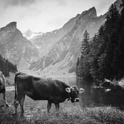 Zwitserse koeien