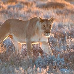 Leeuw in ochtendlicht