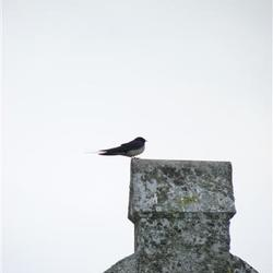Zwaluw op een Celtic cross