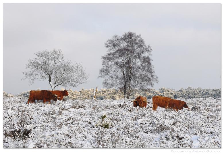 Deelerwoud - Vorige week in Deelerwoud.Een plaatje was het daar. Prachtig wit en de hooglanders staken met hun dikke vachten mooi af tegen de witte sn