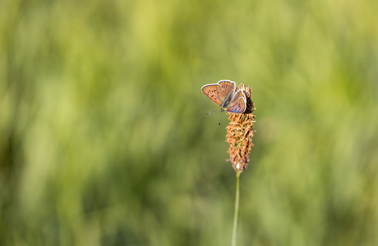 Genietend....  - van de eerste zonnestralen kon ik deze bruine vuurvlinder vastleggen. Hij had net zijn vleugels gespreid.  Altijd weer heerlijk om di