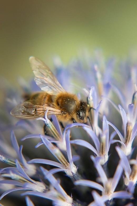 """DSC_0121 - Blij met de bijen in mijn tuin <img  src=""""/images/smileys/smile.png""""/>"""