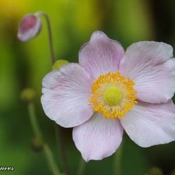 Roze Herfst-Anemoon