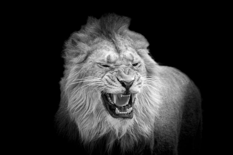 Aziatische leeuw in Blijdorp -