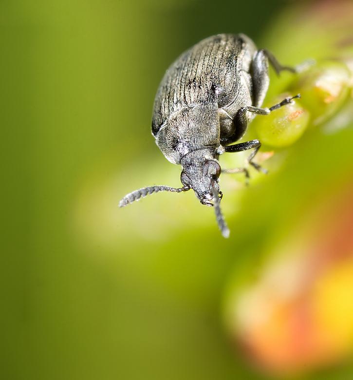 Meanwhile on planet insect... - een kleinsoort kever, maar wat het is? geen idee!<br /> <br /> Ongeveer een twee keer vergroting met een MP-E 65 len
