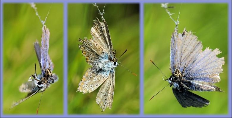 The cruelty of Nature, drieluik - Tja, loop je door het park, op zoek naar een leuke vlinder om te fotograferen.....kom je deze tegen.<br /> gevangen
