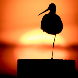 Grutto tijdens zonsondergang