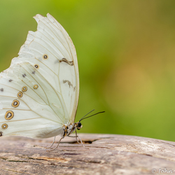 Morpho Polyphemus Witte Morpho