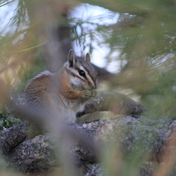 Squirrel, verdekt opgesteld