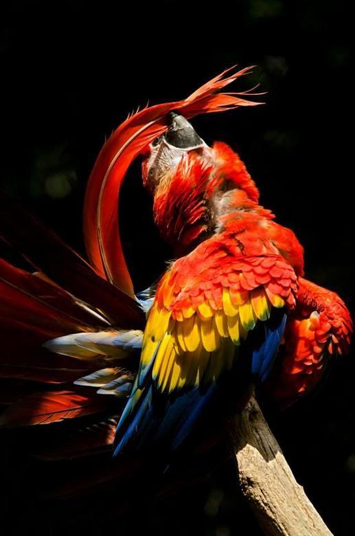 Ijdelheid - Geelvleugel ara
