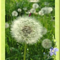 De pluizebol, de wind en de ereprijs