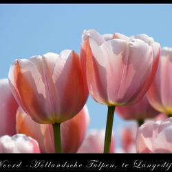 Tulpen uit Langedijk NH