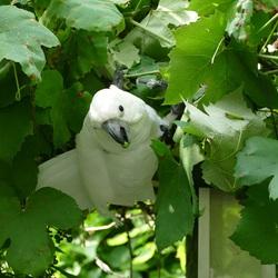 Mijn Witkuifkaketoe Maxi vermaakt haarzelf in de druivenstruik in mijn tuin.