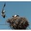 Landing Stork