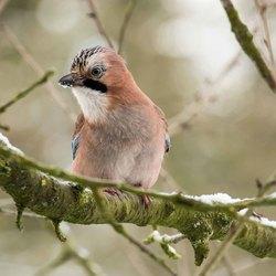 Vogels in de tuin Vlaamse Gaai