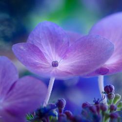 hydrangeas blues