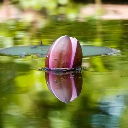 Waterlelie / reflectie