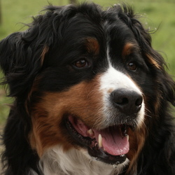 Echt Honde-portret